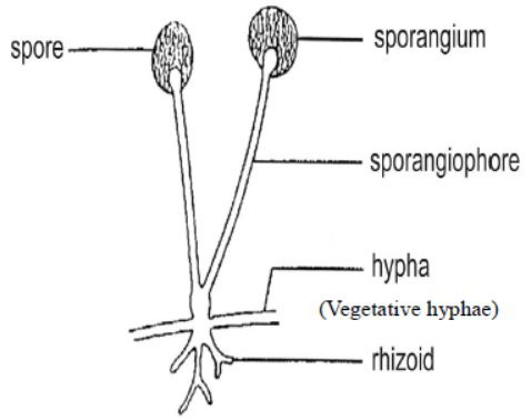 مورفولوژی قارچ ها
