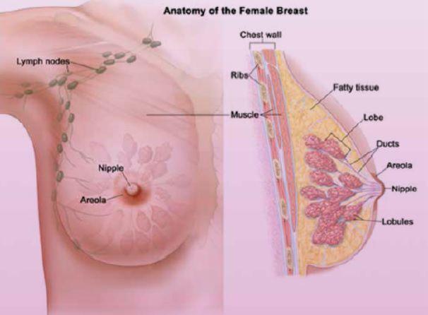 ساختمان تشریحی پستان در زن