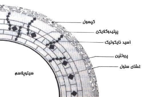 نمونه ای از ساختمان دیواره سلول باکتری های گرم مثبت